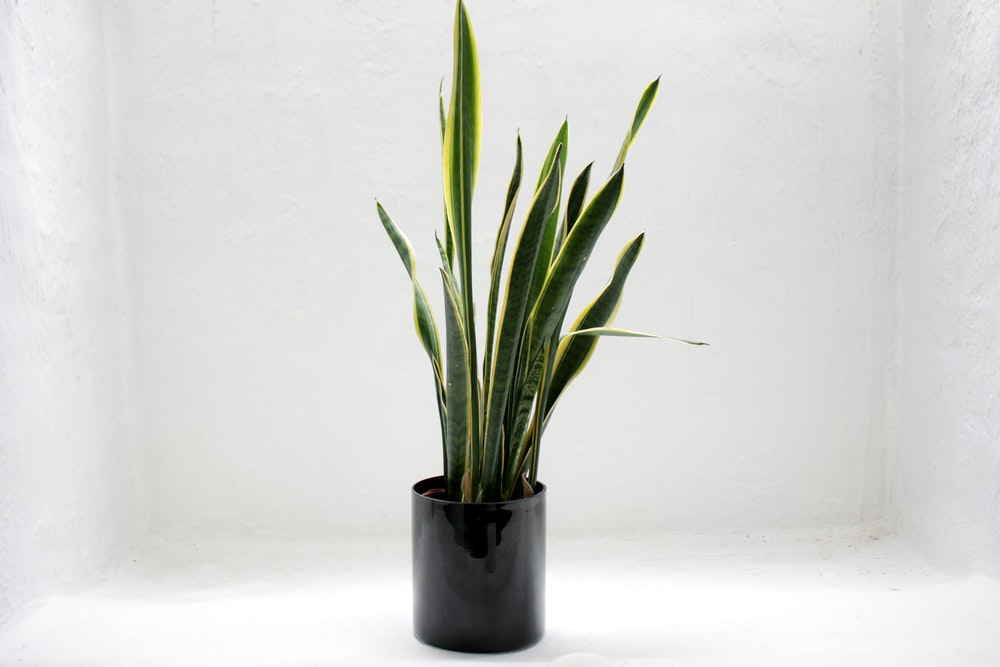 How to Grow and Care for the Snake Plant