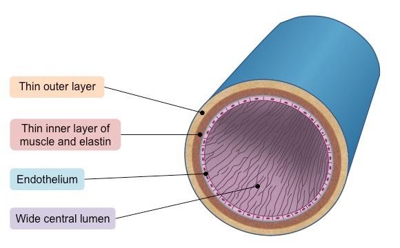 Human veins cross section